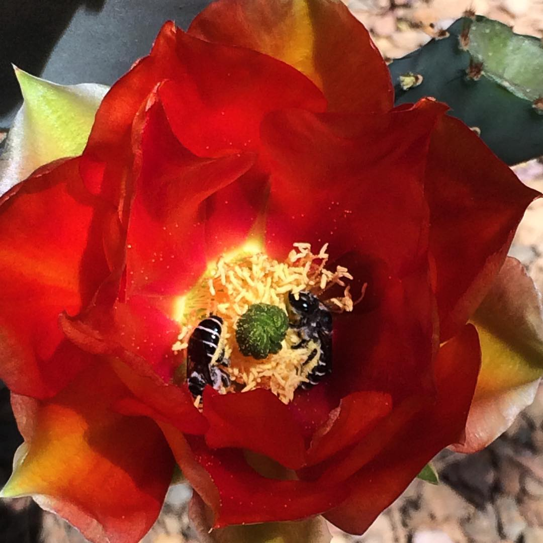Bees pollinating the Prickly Pear Cactus flowers