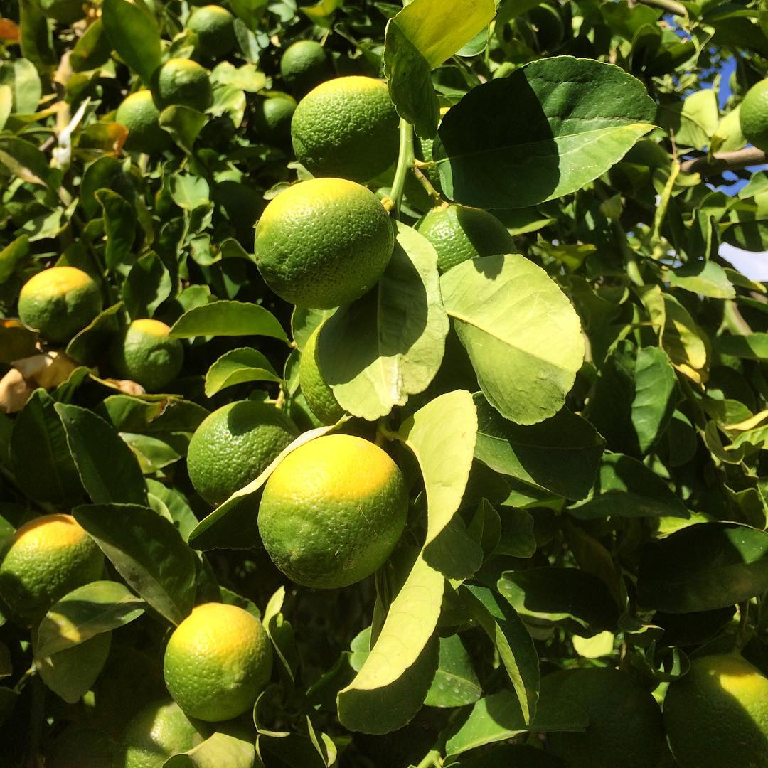 LEMONS autumn scottsdale arizona fruit citrus citrustrees